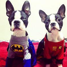 Psst.. Batman wake up! Gotham Needs You! @alfred_and_jarvis #bostonterrierpuppy #bostonterrier #tuxedodogs #puppiesofinstagram #dogsofinstagram #ilovemypuppy #instagramer #adorable #bostonterriercult #instahub #btoverload #cute #instadog #bostonterrierlove #ilovemydog #photoftheday #bostonterrierlover #instagram #instagood #boston #love #instagramhub #dogstagram #squishyface #bostonterriersofinstagram #bostonparentsunited #black #white #blackandwhitedog