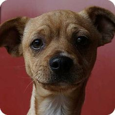 Rancho Santa Fe, CA - Pug/Terrier (Unknown Type, Medium) Mix. Meet Danza a Puppy for Adoption.