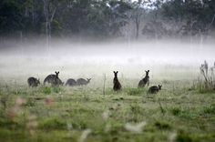 Kangaroos in the morning mist