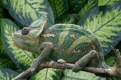 Chameleon - amazing how perfectly he can match his surroundings!