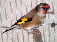 Magnifiquement beau woow   جميل https://www.youtube.com/+bilelseg https://www.facebook.com/ChardonneretBilelKios/ https://www.instagram.com/bilelkios/ #الحسون #المقنين #القرديل #Chardonnerert #Canari #Mulet #MuletOiseau #Oiseau #Birds #Animaux #Goldfinch #Jilguero #Cardellino #καρδερίνα #Sakakuşu #Chien #Chat #Pigeon #Cheval #Science #Reptile #Poisson #Plantes #Hibiscus #Alger #Algérie #Tunisie #Maroc #ChardonneretGolden #BilelKios