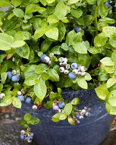Growing Blueberries in Containers 10 Thing You Need to Know to Grow Blueberries in Pots great article Fruit Garden, Edible Garden, Vegetable Garden, Garden Plants, Growing Vegetables, Growing Plants, Container Gardening, Gardening Tips, Herb Container