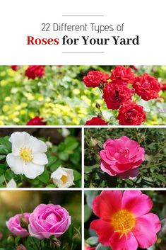 Lovely roses with different colors, sizes, and shapes. Types Of Rose Bushes, Types Of Roses, Types Of Plants, Bushes And Shrubs, Garden Shrubs, Different Color Roses, Indoor Plants Low Light, Shrub Roses, Flower Meanings
