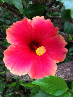 Hibiscus are all over the place and seem common but they still blow me away with their color.