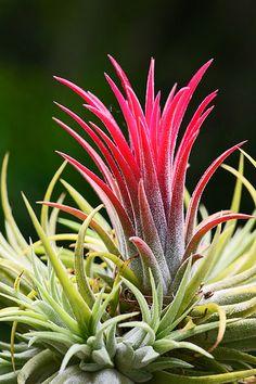 Bromeliaceae - Tillandsia
