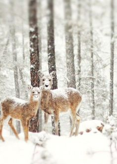 I remember seeing deer in the midst of a snowfall like this when I lived on the farm.  Beautiful!