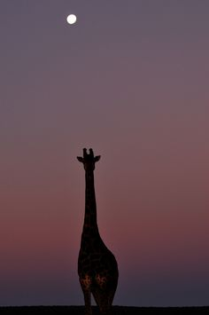 Flickr. Giraffe and moon, South Africa.  Lovely.