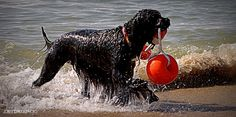 Portuguese Water Dog - from the Algarve to the White House :)