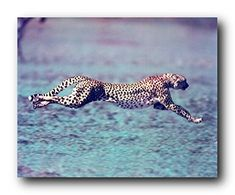 Grace your wall with this wonderful Running Cheetah wildlife animal art print poster. This poster captures the image of an running cheetah in a very fast speed that is the reason that cheetah called an fastest land animal. This poster goes well with any teen age boy room decor. Hurry up and order this poster for its excellent quality with high degree of color accuracy.