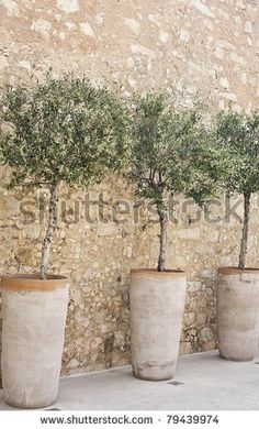 Mediterranean Garden-Don't have a garden? You can still own a fruiting olive tree, grown in a container. A sunny balcony and the right climate are the essential things; that, and ti Patio Trees, Garden Trees, Trees To Plant, Garden Pots, Trees In Pots, Fruit Garden, Balcony Garden, Indoor Olive Tree, Potted Olive Tree