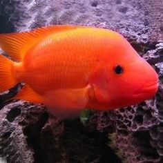 1000 images about south american cichlids on pinterest for Red devil fish for sale