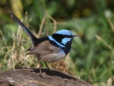 birds free wallpaper 99: Superb Fairy-Wren