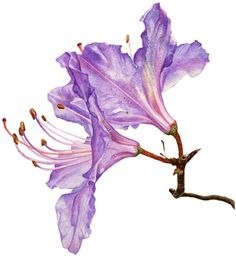 http://www.annaknights.co.uk/contemporary_botanical_art/Anna_Knights_giclee_files/Rhododendrum.gif
