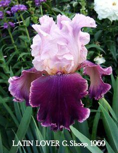 "Tall Bearded Iris ""LATIN LOVER "" ~ HERITAGE IRISES"