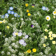 This mixture can be used as a flowering lawn or low growing ground cover. It is composed of fine fescue, flowers and clovers and provides a colorful and diverse alternative to grass lawns.