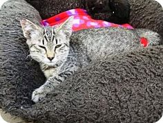 Lathrop, CA - Domestic Shorthair. Meet Megara, a kitten for adoption. http://www.adoptapet.com/pet/16108810-lathrop-california-kitten