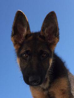 My little sweet German Shepherd