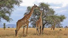 """Reisen braucht mehr Flexibilität und Qualität gegen Corona Die """"Geiz-ist-geil-Mentalität"""" verschwindet nicht so schnell, aber die Reisewilligen werden künftig genauer hinsehen. Hier das Interview. Interviews Uganda, Interview, Giraffe, Animals, Corona, European Travel, Things To Do, Felt Giraffe, Animales"""