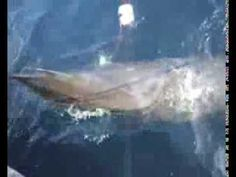 Endangered whale saved by brave fishermen - Pakistan