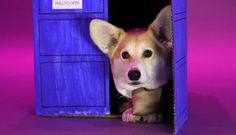 DOGtor Who: Wally the Welsh Corgi dresses up as all the Doctor's regenerations.  :3