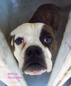 A4748932 my name is Nickle. I am a very friendly 1 yr old female br brindle/white Boxer/American Bulldog mix. I came to the shelter as a stray on August 24. available 9/6/14 (Came in with A4748931). Baldwin Park shelter Open for Adoptions 7 days a Week 4275 Elton Street, Baldwin Park, California 91706 Phone 626 430 2378  https://www.facebook.com/photo.php?fbid=833673293311176&set=a.705235432821630&type=3&theater