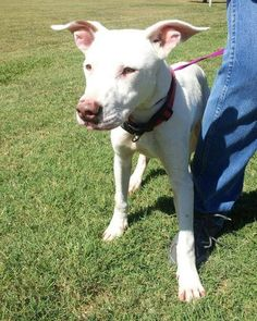 #8G is a very well mannered young pit mix. He is such a sweet boy! He arrived at the shelter 10/2/13.