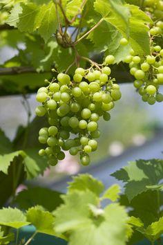 Een+overvloedige+druivenoogst+uit+eigen+tuin.