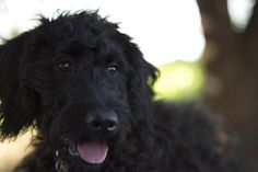 Josiiiie Mae look alike <3 labradoodles are the absolute best dogs ever.