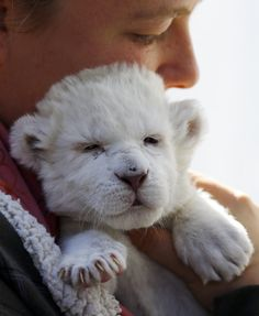 The sleepiest white lion in the world. | The 40 Most Adorable Baby Animal Photographs Of 2013