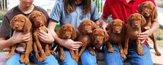 7 week old Vizsla puppies... I would take all of them!