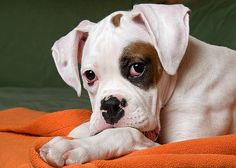 The Boxer puppy is a breed of stocky, medium size, short-haired dog. Boxer puppies are brindled with or without white markings. White Boxer Puppies, Cute Puppies, Cute Dogs, Dogs And Puppies, White Boxers, Doggies, Baby Dogs, Pictures Of Boxers, Puppy Pictures