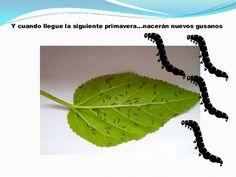 Power point gusanos de seda Plant Leaves, Plants, Life Cycles, Plant, Planets