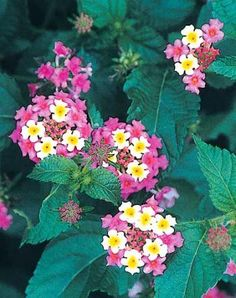 Deer-resistant hardy lantana grown in a garden 2 hours west (colder) of PDN. Lantana 'Ham and Eggs' is an old, sterile cultivar that has been passed along in the Southeast for many years. Garden Bulbs, Home Garden Plants, House Plants, Sun Garden, Deer Resistant Landscaping, Deer Resistant Plants, Long Blooming Perennials, Sun Perennials, Flower Seeds