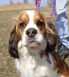 Luck is an adoptable Spaniel Dog in Grayslake, IL. A divorce and nowhere to go is how I landed at Save-A-Pet. I lived with a cat and get along with dogs. I'm quite active and playful, still a complete...