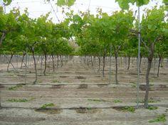 Asaja Murcia calcula que entre el 15 y el 20% de la uva de mesa ha sido afectada por la lluvia