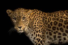 Meet the rare Persian leopard and browse photographs by Joel Sartore. Watch full episodes of RARE: Creatures of the Photo Ark online now. Panthera Pardus, Leopards, National Geographic Photos, Wildlife Photography, Big Cats, Ark, Pet Portraits, Pet Birds, Persian