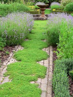camomile as lawn, can also use creeping thyme or mix them together