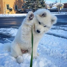 Paws in the air if you're excited it's the last day of summer! Super Cute Puppies, Cute Little Puppies, Cute Dogs And Puppies, Cute Little Animals, Baby Dogs, Cute Funny Animals, Doggies, Really Cute Dogs, Samoyed Dogs