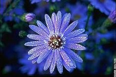 Image result for Michaelmas Daisy