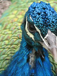 Peacocks are so brilliantly colored, so vividly painted by God that they look almost unreal.