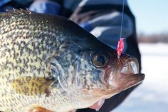 Many times, a spoon is critical to your ice-fishing success. So what are the best crappie spoons? Check out this great article!