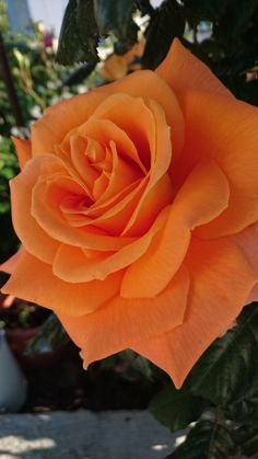i came to see the flowers — Top Posts Beautiful Flowers Wallpapers, Beautiful Rose Flowers, Exotic Flowers, Fleur Orange, Rose Flower Wallpaper, Most Popular Flowers, Rose Pictures, Colorful Roses, Flower Frame