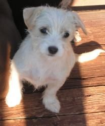 Mist is an adoptable West Highland White Terrier Westie Dog in Terre Haute, IN. Just a best guess on breed. Five puppies were pulled into foster by a volunteer to keep them out of the shelter. Another...