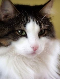 cat picture halo efeckti this post pictures of norwegian forest cats ... - See more stunning cats at Catincare.com!