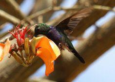 Hummingbird  on Erythrina velutina by Derek Keats, via Flickr