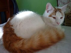 """A gorgeous example of the Turkish Van Cat. This van exhibits the classic """"Ringed"""" tail pattern of a Turkish Van."""