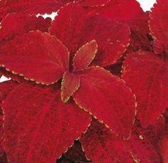200 Seeds Coleus Rainbow Superfine Volcano Flower Seeds BULK SEEDS #coleus