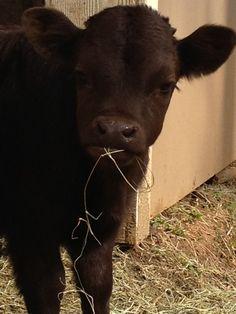 Hershey ... the baby dexter cow