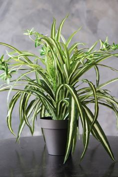 Faux Potted Spider Plant - Artificial Faux Plants - Home Accessories Fake Potted Plants, Artificial Plants And Trees, Artificial Plant Wall, Fake Plants Decor, Faux Plants, Hanging Plants, Plant Decor, Indoor Plants, Air Cleaning Plants