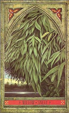 Willow - Green Man Tree Oracle: New Moon magick, creativity, fertility, female rights of passage, inspiration, emotion, binding. Love, Love divination, protection, healing. Also known as the tree of immortality because of its ability to re-grow from a fallen branch in moist ground.